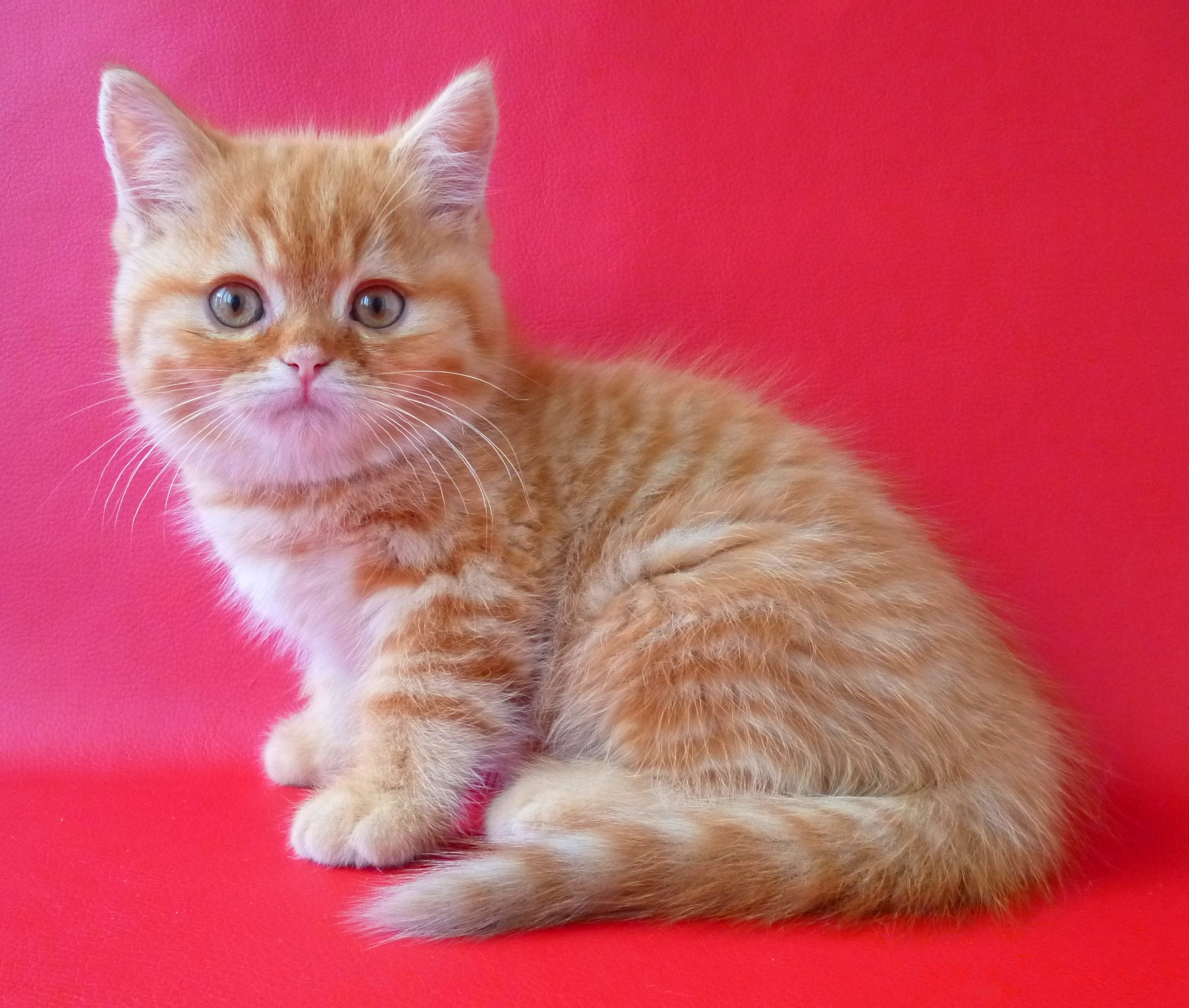 Кошки фото  шотландские вислоухие и прямоухие окрас кошек